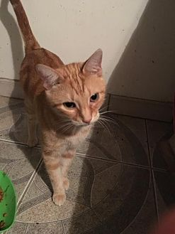 Domestic Mediumhair Cat for adoption in St. Cloud, Florida - Pumpkin