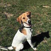 Labrador Retriever/Beagle Mix Puppy for adoption in Sparta, New Jersey - Sam
