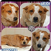 Adopt A Pet :: Heidi - Dallas, TX