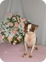 Chihuahua Dog for adoption in Chandlersville, Ohio - Contessa