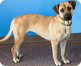 Hound (Unknown Type)/Shepherd (Unknown Type) Mix Dog for adoption in Mt. Prospect, Illinois - Amanda