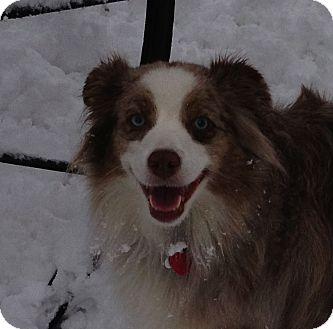 Australian Shepherd Dog for adoption in Minneapolis, Minnesota - Sienna