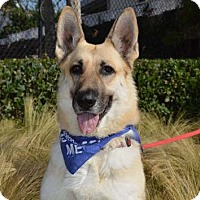 German Shepherd Dog Dog for adoption in San Diego, California - Jenny