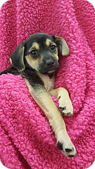 Spaniel (Unknown Type)/Border Collie Mix Puppy for adoption in Orland Park, Illinois - AF2 (Female)