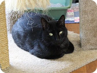 Domestic Shorthair Cat for adoption in Joplin, Missouri - Captain