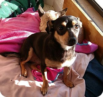 Chihuahua/Terrier (Unknown Type, Medium) Mix Dog for adoption in Carthage, North Carolina - Pablo
