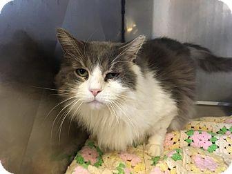 Domestic Mediumhair Cat for adoption in Wantagh, New York - Fluff