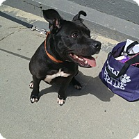 Adopt A Pet :: ZANGIE:ready for adoption - Sterling, MA