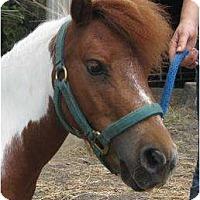 Adopt A Pet :: Macho Man - Dewey, IL