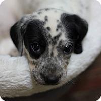 Adopt A Pet :: Aspen - Fredericksburg, VA