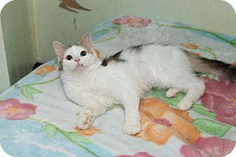 Maine Coon Cat for adoption in Chicago, Illinois - Elizabeth