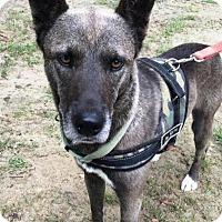 Belgian Malinois/Husky Mix Dog for adoption in Quinlan, Texas - Gideon