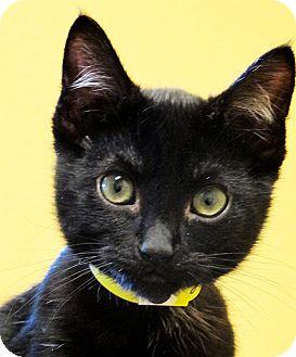 American Shorthair Kitten for adoption in Eastsound, Washington - Bert