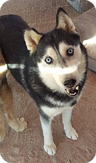 Siberian Husky Dog for adoption in Las Vegas, Nevada - Renee