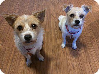 Irish Terrier/Terrier (Unknown Type, Small) Mix Dog for adoption in Land O lakes, Florida - Precious & Princess
