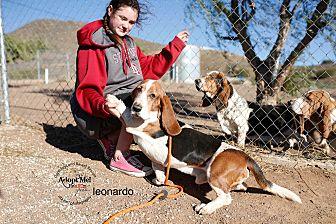 Basset Hound Dog for adoption in Acton, California - Leonardo