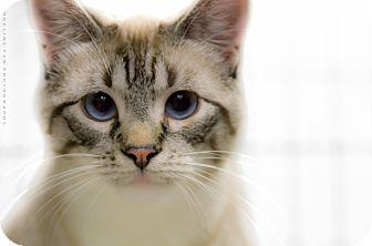 Siamese Cat for adoption in Houston, Texas - FAITH