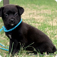 Golden Retriever/Labrador Retriever Mix Puppy for adoption in parissipany, New Jersey - JEMMA/ADOPTED