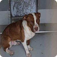 Adopt A Pet :: Bo - Newnan City, GA