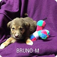 Adopt A Pet :: Bruno - Burlington, VT