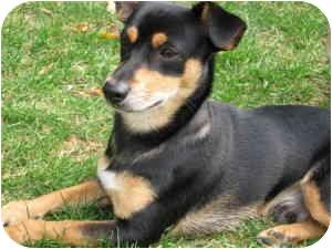 Miniature Pinscher/Cairn Terrier Mix Puppy for adoption in Waukesha, Wisconsin - Mooney