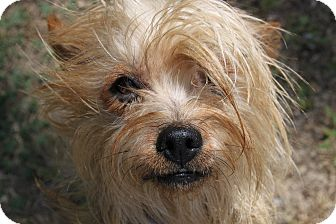 Yorkie, Yorkshire Terrier Mix Dog for adoption in Waldorf, Maryland - Cody