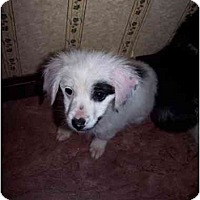 Adopt A Pet :: Patches - Honaker, VA