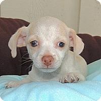Adopt A Pet :: Daisy - La Habra Heights, CA