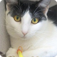 Domestic Shorthair Cat for adoption in Waupaca, Wisconsin - Paws
