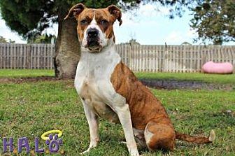 Boxer/American Bulldog Mix Dog for adoption in Sebastian, Florida - Precious