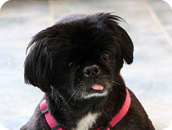 Pekingese Dog for adoption in Greensboro, North Carolina - Cookie