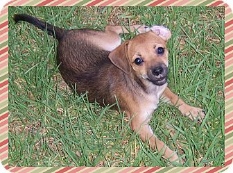 Terrier (Unknown Type, Small)/Jack Russell Terrier Mix Puppy for adoption in Colton, California - Haylee