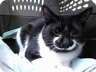 Domestic Shorthair Cat for adoption in Ardsley, New York - Meowstache