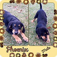 Adopt A Pet :: Phoenix in CT - Manchester, CT
