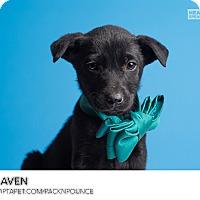 Adopt A Pet :: Draven - Ogden, UT