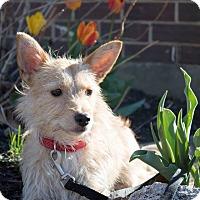 Adopt A Pet :: Simon - Millersville, MD