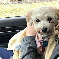 Adopt A Pet :: Little Lamb D3594 - Shakopee, MN
