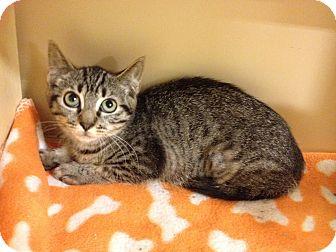 Domestic Shorthair Kitten for adoption in Farmingdale, New York - Julia