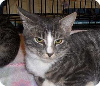 Domestic Shorthair Cat for adoption in Richmond, Virginia - Patty