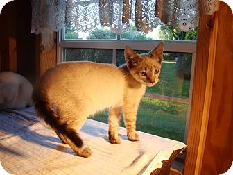 Siamese Kitten for adoption in Kalamazoo, Michigan - Dove