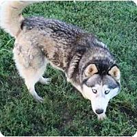 Adopt A Pet :: Clover - Belleville, MI