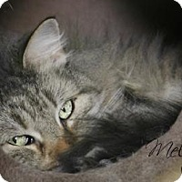 Domestic Longhair Cat for adoption in Centerton, Arkansas - Melody