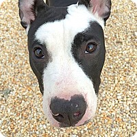 Adopt A Pet :: Charlee - Reisterstown, MD