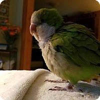 Adopt A Pet :: Cookie - St. Louis, MO