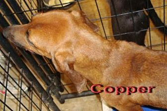 Hound (Unknown Type) Mix Dog for adoption in Coleman, Texas - Copper