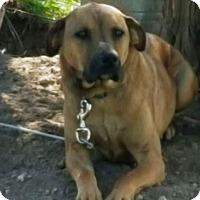 Labrador Retriever/Shepherd (Unknown Type) Mix Dog for adoption in Radford, Virginia - Rex