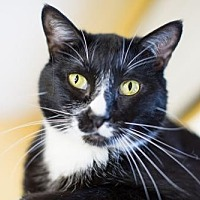 Adopt A Pet :: Oreo - Auburn, CA