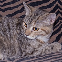 Adopt A Pet :: Athena - Elmwood Park, NJ