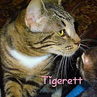 Adopt A Pet :: Tigerett - York, PA