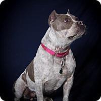 Adopt A Pet :: Lady 'O' - St. Charles, MO